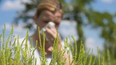 аллергия от амброзии