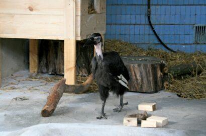 птенец кафрского ворона